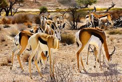 Springbok family in the Kalahari desert ( 2011 )